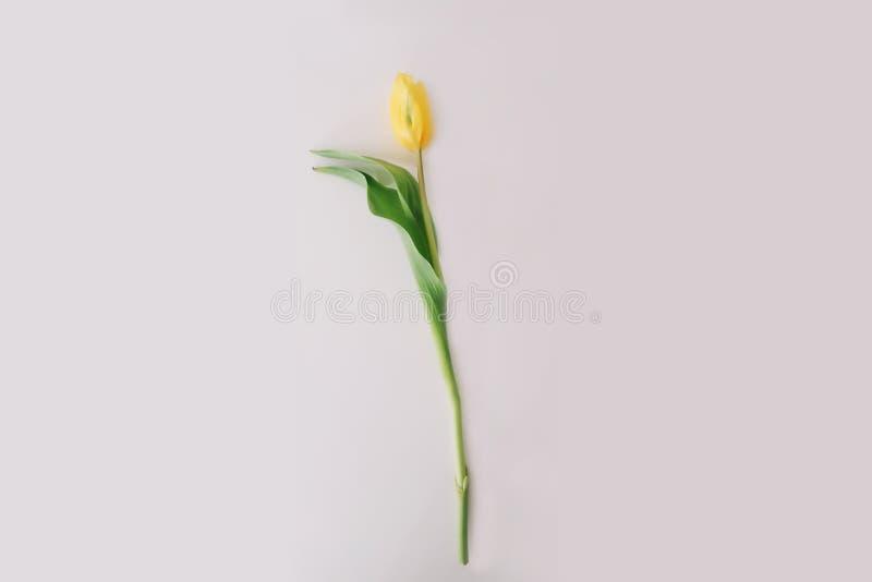 Mooie gele tulpenbloem op witte achtergrond Vlak leg, hoogste mening, exemplaarruimte Concept vakantie, verjaardag, Pasen, 8 Maar stock foto's