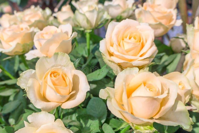 Mooie gele verse grote rozen stock fotografie