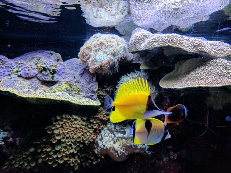 Mooie gele vissen, Sc van Colombia royalty-vrije stock afbeelding
