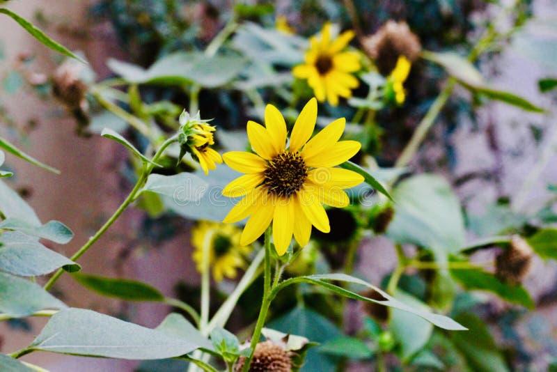 Mooie gele zonnebloemen op de gebieden stock foto's