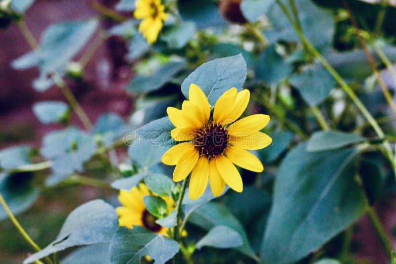 Mooie gele zonnebloemen op de gebieden royalty-vrije stock afbeeldingen