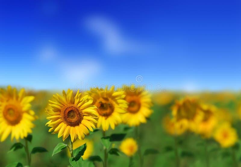 Mooie gele Zonnebloemen royalty-vrije stock foto