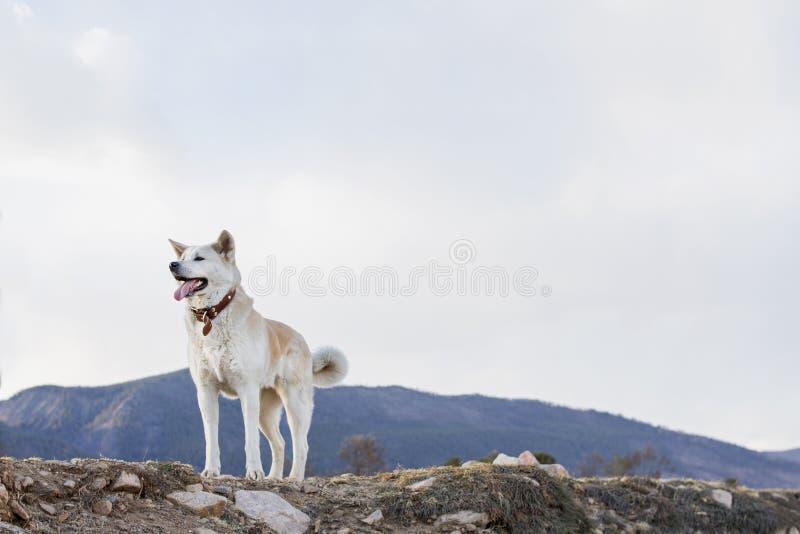 Mooie gelukkige hond Japanse Akita Inu met tong uit op een bergachtergrond in de lente op de kust van Meer Baikal stock foto