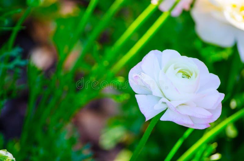 Mooie mooie gemengde kleuren witte en roze Ranunculus of de Boterbloem bloeien in een lentetijd bij een botanische tuin stock afbeeldingen