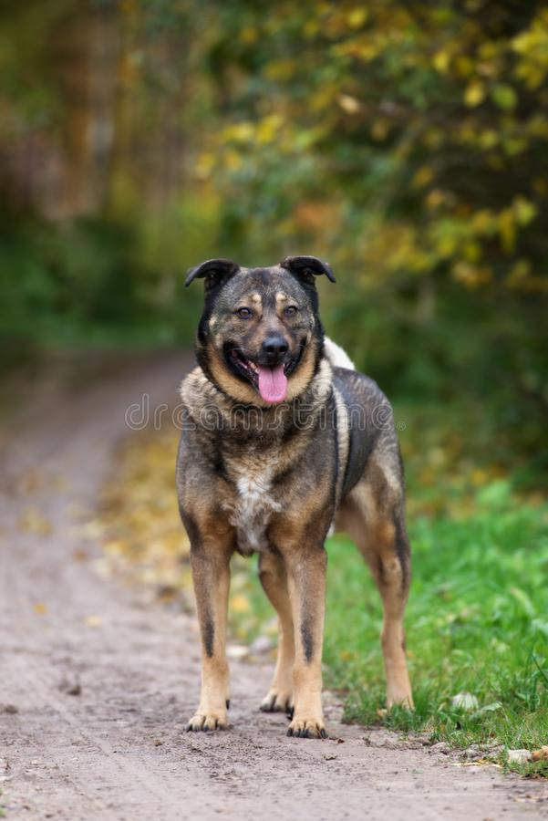 Mooie gemengde rassenhond die in openlucht stellen royalty-vrije stock afbeelding