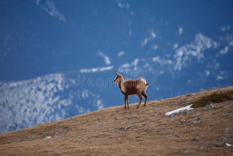 Mooie gemzen die in de Berg van de Pyrenee?n springen stock fotografie