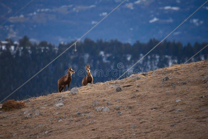 Mooie gemzen die in de Berg van de Pyrenee?n springen royalty-vrije stock afbeelding