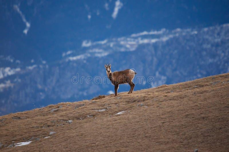 Mooie gemzen die in de Berg van de Pyrenee?n springen stock afbeeldingen