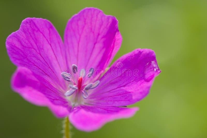 Mooie geranium stock afbeeldingen