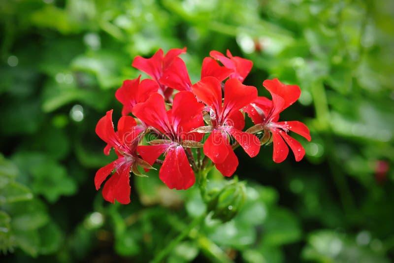 Mooie geraniumbloemen royalty-vrije stock afbeeldingen