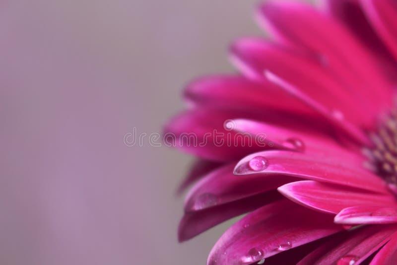 Mooie Gerberabloem en de dalingsachtergrond van het bloesem violette water royalty-vrije stock afbeeldingen
