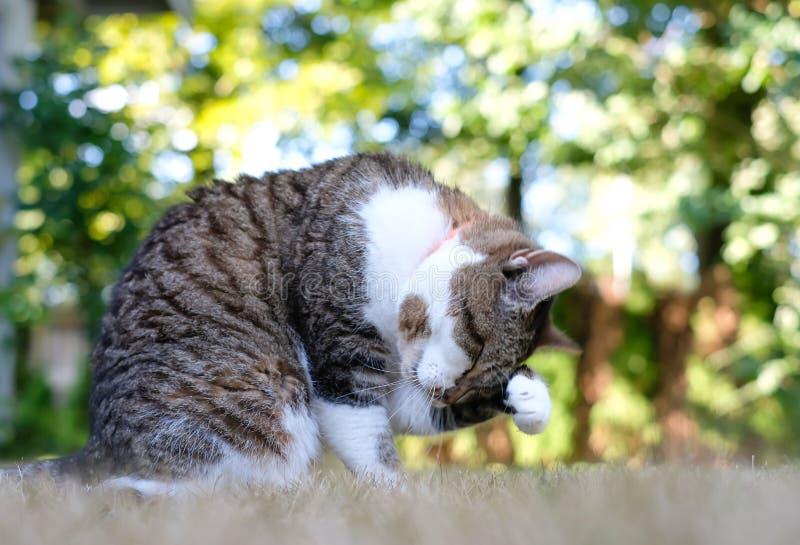 Mooie gestreepte kat die haar poot likken en haar gezicht wassen, sitt stock foto
