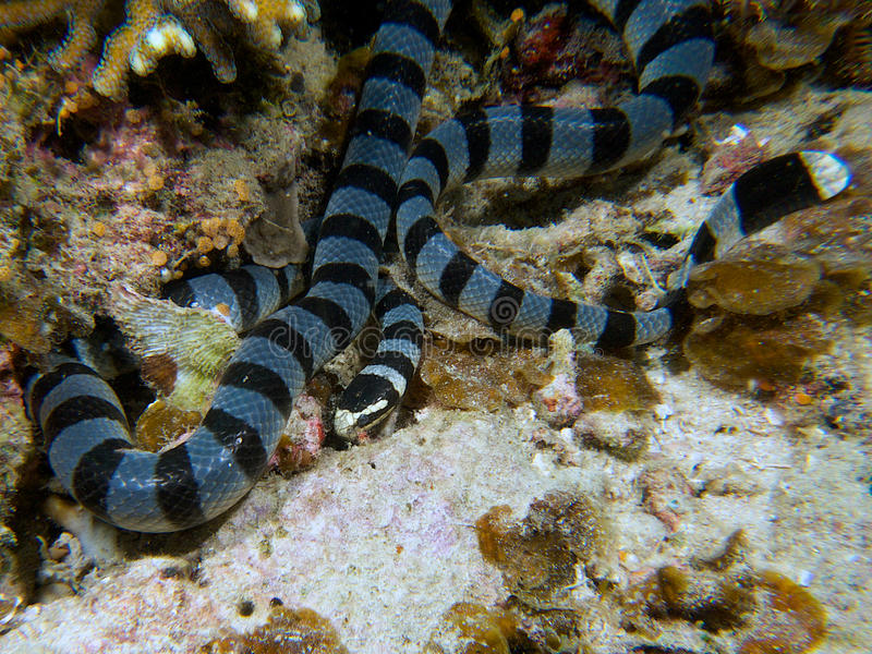 Mooie gestreepte overzees krait, slapen onderwater, Raja Ampat, Indonesië stock fotografie