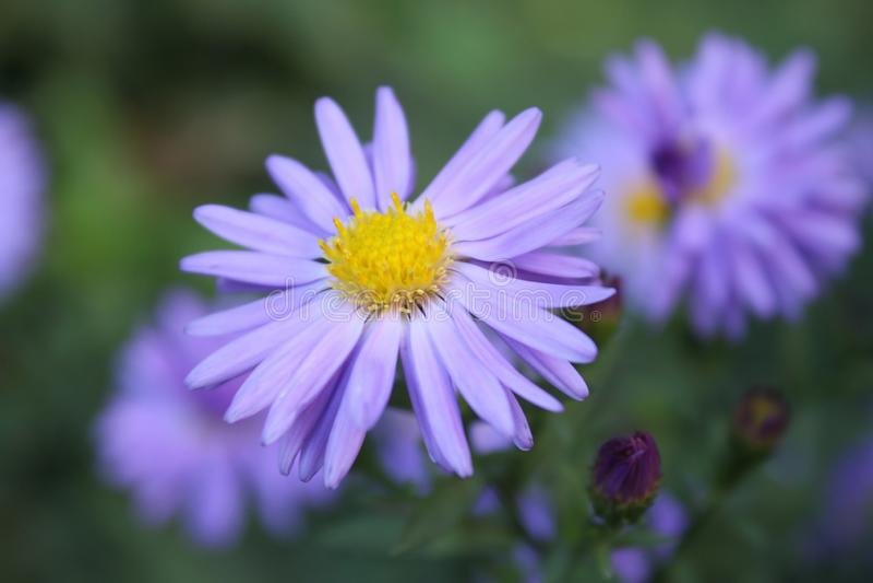 Mooie gevoelig weinig het purpere blauwe bloem groeien in de tuin royalty-vrije stock foto's