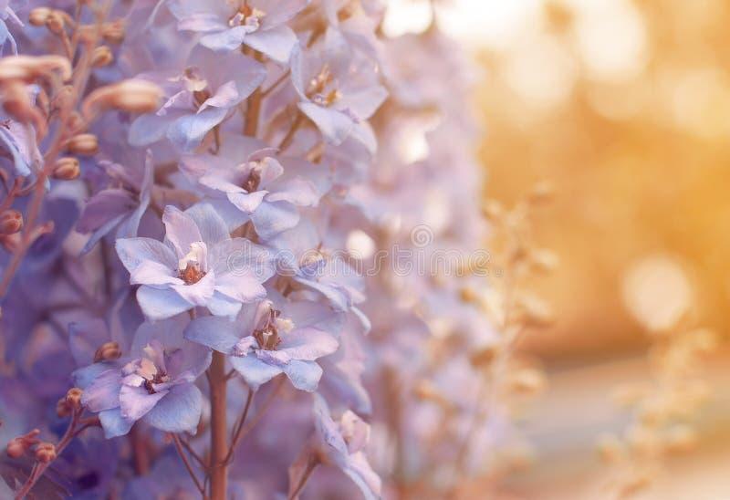 Mooie gevoelige blauwe en purpere bloemen in het licht van de zon voor een gift stock afbeelding