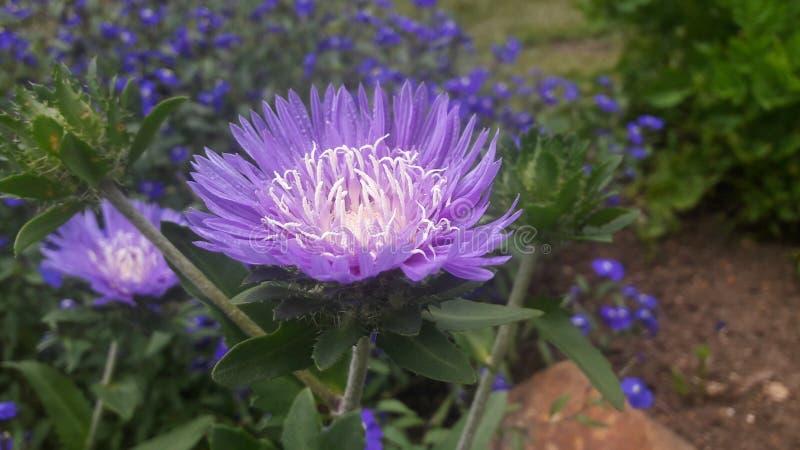 Mooie glanzende blauwe kleurenbloem stock foto