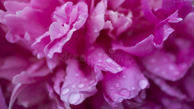 Mooie glanzende waterdruppeltjes op de pioenmacro van het bloembloemblaadje Dalingen van dauw Zacht zacht elegant luchtig artisti stock foto