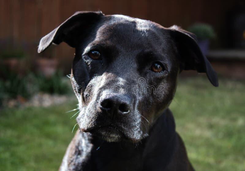 Mooie glanzende zwarte de kruisingshond van Labrador Staffordshire Bull terrier met vriendelijke ogen stock fotografie