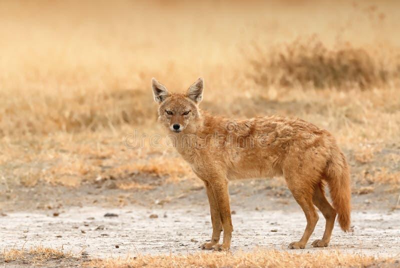 Mooie gouden jakhals of gemeenschappelijke jakhals goudhoudende Canis royalty-vrije stock fotografie