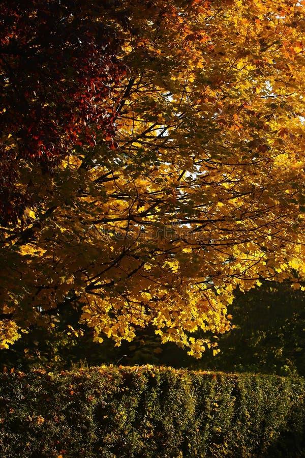 Mooie gouden-leaved bomen en haag royalty-vrije stock afbeeldingen