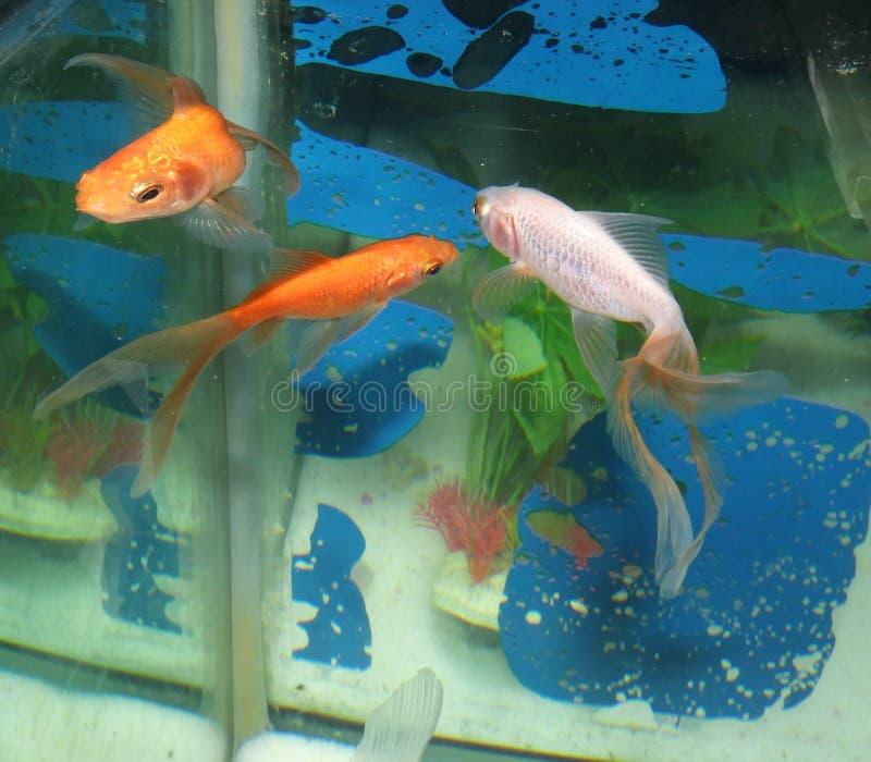 Mooie Gouden vissen vanuit verschillend perspectief royalty-vrije stock afbeelding
