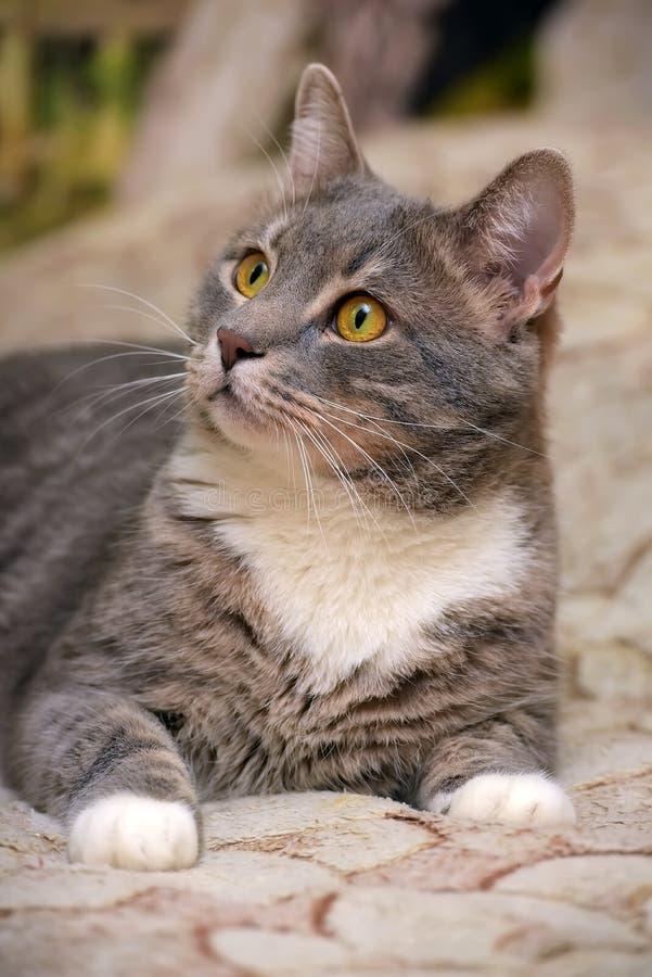 Mooie grijs met witte grote binnenlandse kat stock afbeelding