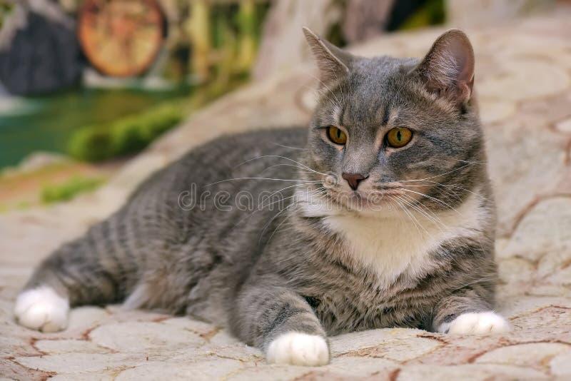 Mooie grijs met witte grote binnenlandse kat stock fotografie