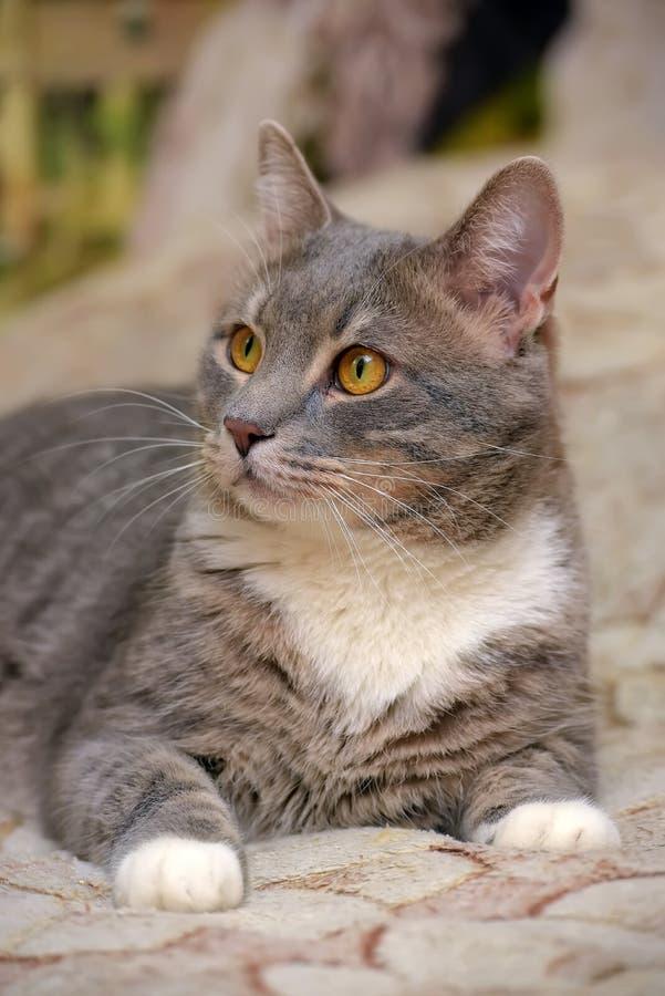 Mooie grijs met witte grote binnenlandse kat royalty-vrije stock foto