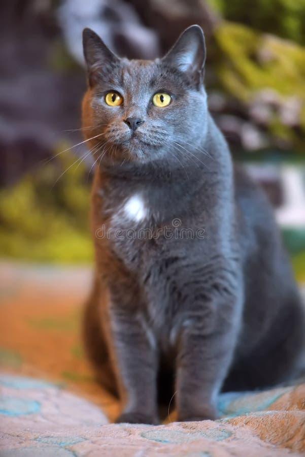 Mooie grijze Britse kat stock afbeelding