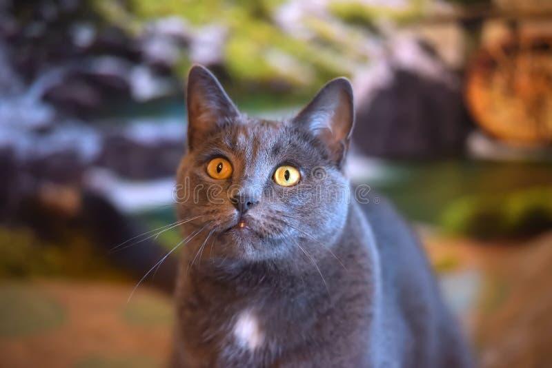 Mooie grijze Britse kat royalty-vrije stock foto's