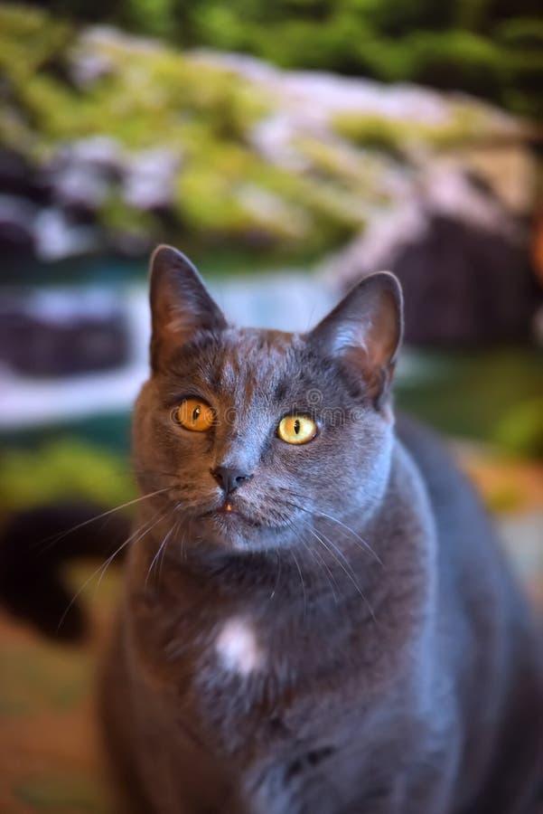 Mooie grijze Britse kat stock foto