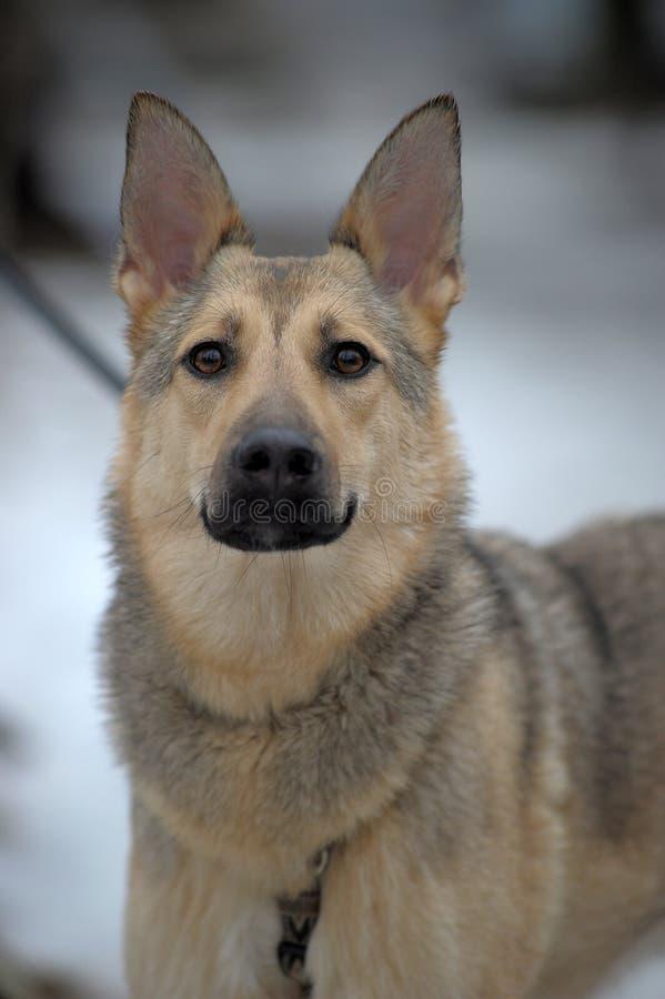 Mooie grijze hond royalty-vrije stock afbeelding