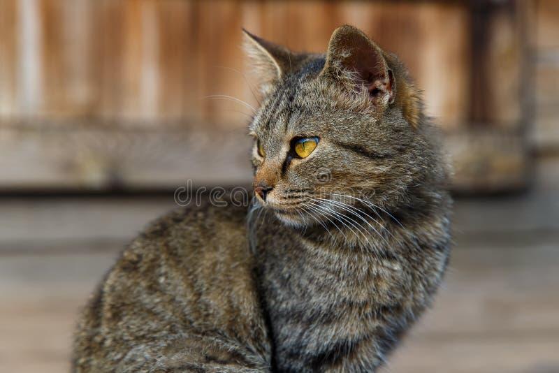 Mooie grijze kattenzitting op een houten portiek stock afbeelding