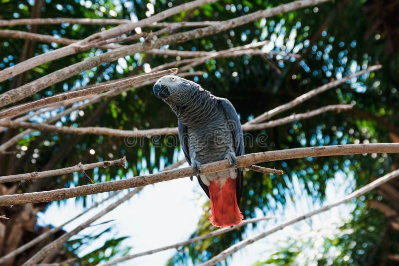 Mooie grijze papegaai met rode staart stock afbeelding