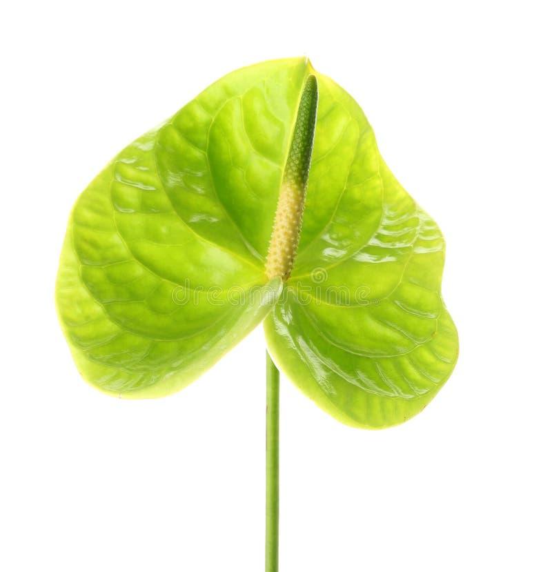 Mooie groene anthuriumbloem royalty-vrije stock afbeelding