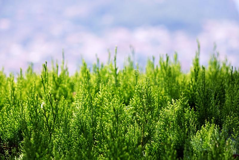 Mooie groene arborvitaebladeren met zacht zonlicht Thuja is een altijdgroene naaldboom stock afbeeldingen