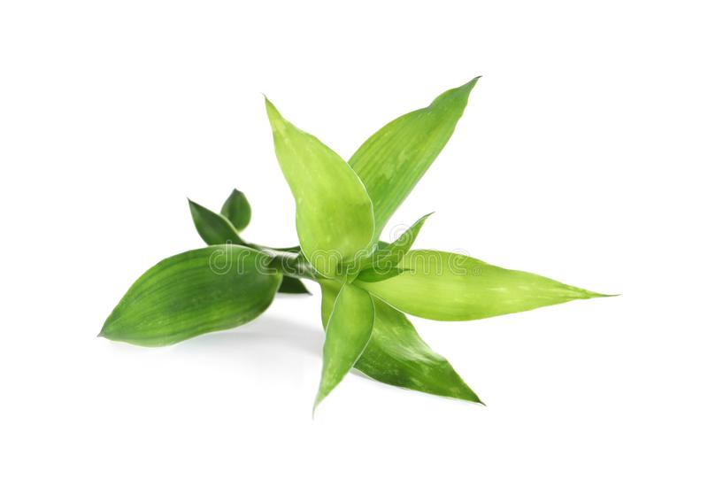 Mooie groene bamboebladeren stock fotografie