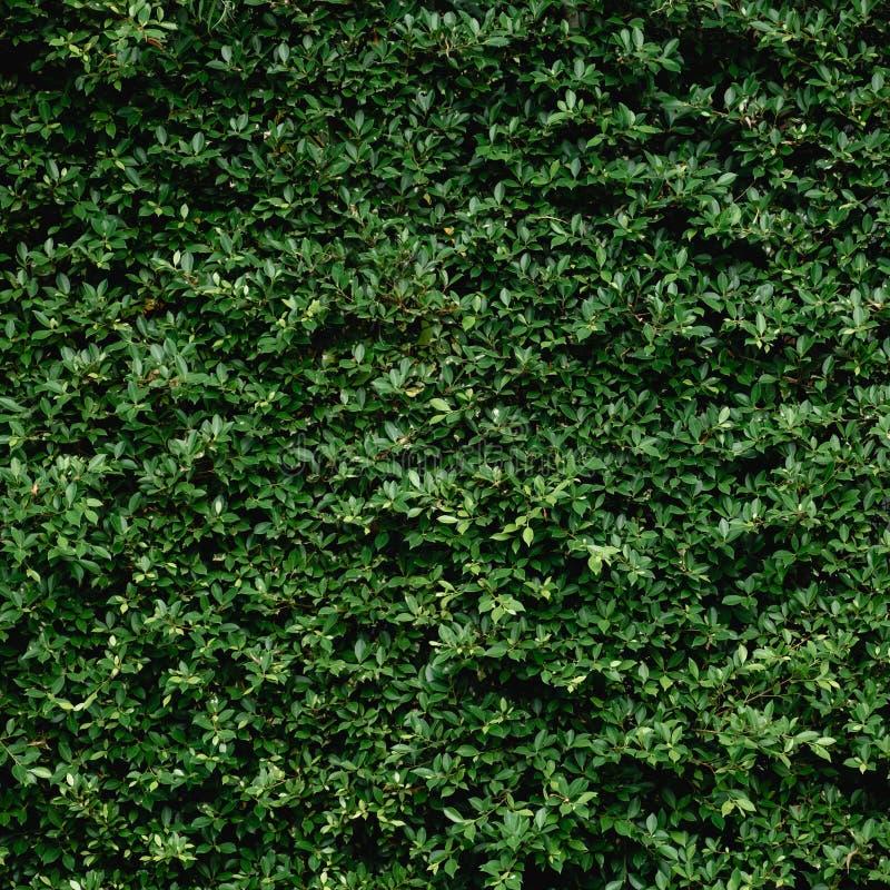 Mooie Groene bladmuur en achtergrond royalty-vrije stock afbeeldingen