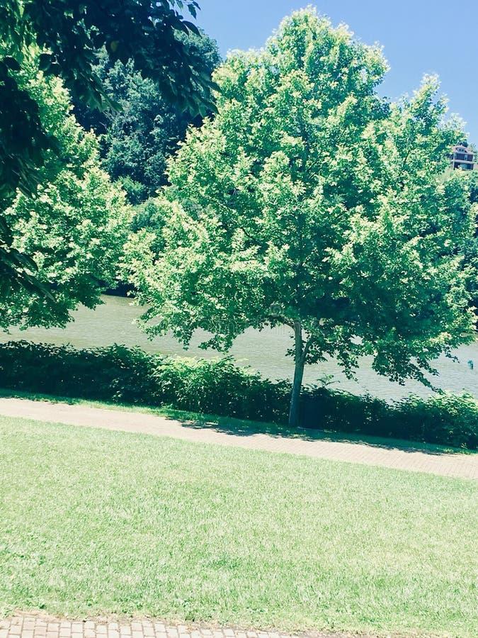 Mooie groene boom neer in Morgantown van de binnenstad stock afbeeldingen