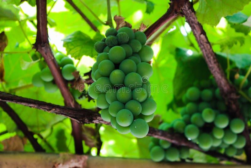 mooie groene druif FO Brazilië royalty-vrije stock fotografie