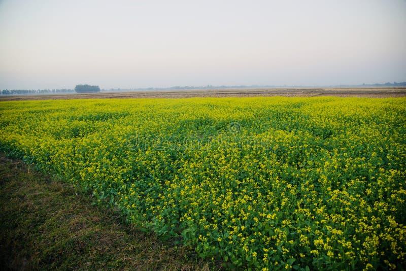 Mooie groene het gebieds unieke foto van mosterdgewassen stock foto