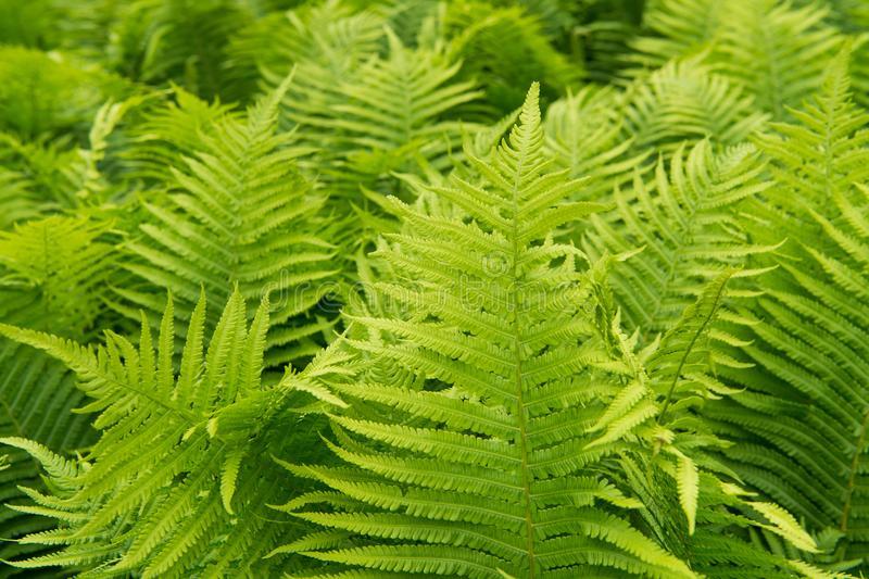 Mooie groene het gebladerteaard van varensbladeren Bloemenvarenachtergrond Het groene gebladerte van varensbladeren Tropisch Blad stock afbeelding