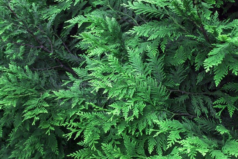Mooie groene Kerstmisbladeren van Thuja-bomen Het Thujatakje, Thuja-occidentalis is een altijdgroene naaldboom royalty-vrije stock fotografie