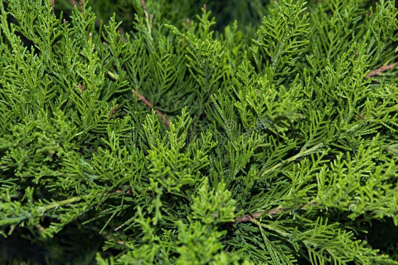 Mooie groene Kerstmisbladeren van Thuja-bomen met zacht zonlicht Thujatakje royalty-vrije stock afbeeldingen