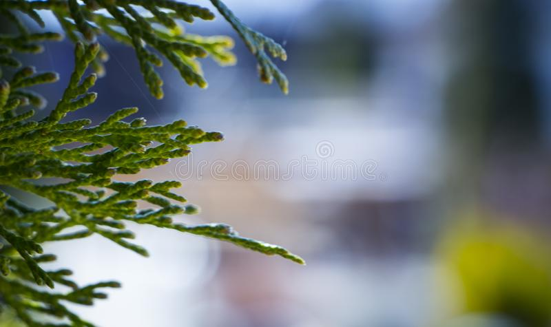 Mooie groene Kerstmisbladeren van Thuja-bomen Thujaoccidentalis is een altijdgroene naaldboom royalty-vrije stock afbeeldingen