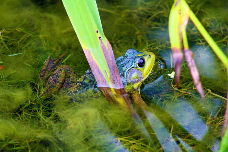 Mooie groene kikker royalty-vrije stock foto's