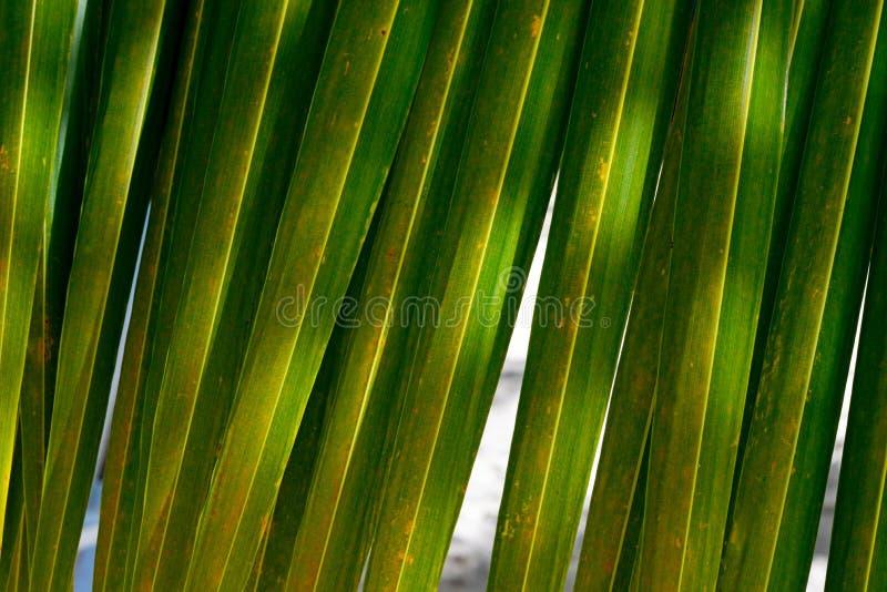 Mooie groene palmbladclose-up Heldere achtergrond Kokosnotenpalmbladen op een warme de zomerdag tegen de blauwe hemel stock fotografie