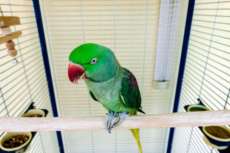 Mooie groene papegaai die thuis leven stock foto's