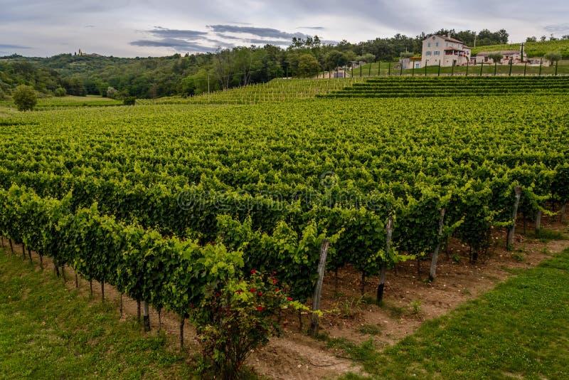 Mooie groene wijngaard in Kroatië (Istria) stock foto's