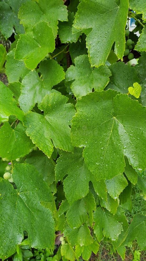 Mooie groene wijnstokbladeren met waterdruppeltjes royalty-vrije stock afbeeldingen